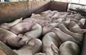 Kỷ luật 23 cán bộ thú y liên quan đến vụ 4.000 con heo bị tiêm thuốc an thần