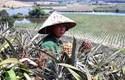 Dứa Việt thối đầy đồng không ai ăn, dân săn dứa ngoại đắt gấp 75 lần