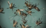Công bố chi tiết về loại muỗi Aedes đang gây dịch sốt xuất huyết