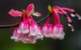 Hoa đào chuông trên đỉnh Bà Nà quý hiếm như thế nào?