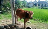 Ủy ban Trung ương MTTQ Việt Nam yêu cầu giám sát vụ việc bò giống bị cấp phát sai đối tượng tại Quảng Trị