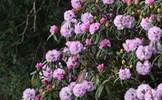 Hoa đỗ quyên trăm tuổi khoe sắc thắm trên đỉnh Fansipan