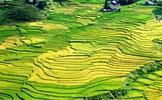 Nghỉ lễ 2/9, nhiều du khách chọn đến Fansipan ngắm lúa chín vàng