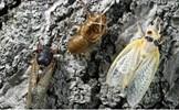 Nước Mỹ đối mặt 'cuộc xâm lăng' của hàng tỷ con ve sầu
