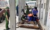 Nhiều con hổ bị chết sau 'giải cứu' ở Nghệ An, trách nhiệm thuộc về ai?