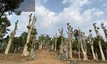"""Thủ đoạn hô biến rừng cây cổ thụ (Bài 2): Vào thủ phủ """"bắt sống lão mộc tinh"""" từ rừng về nhà"""