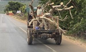 """Thủ đoạn hô biến rừng cây cổ thụ (Bài 3): Thế giới ngầm của các """"phù thủy"""" ăn thịt rừng"""